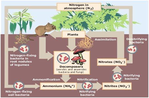 Diagram daur nitrogen info kita semuas blog diagram daur nitrogen ccuart Image collections